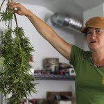 Sunshine Johnston, a local marijuana farmer in Humboldt County, hangs her plant from ceiling hooks while it dries before the trimming process begins. Brittan Jenkins / News21